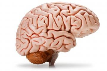 Кратковременная память зависит от мозга