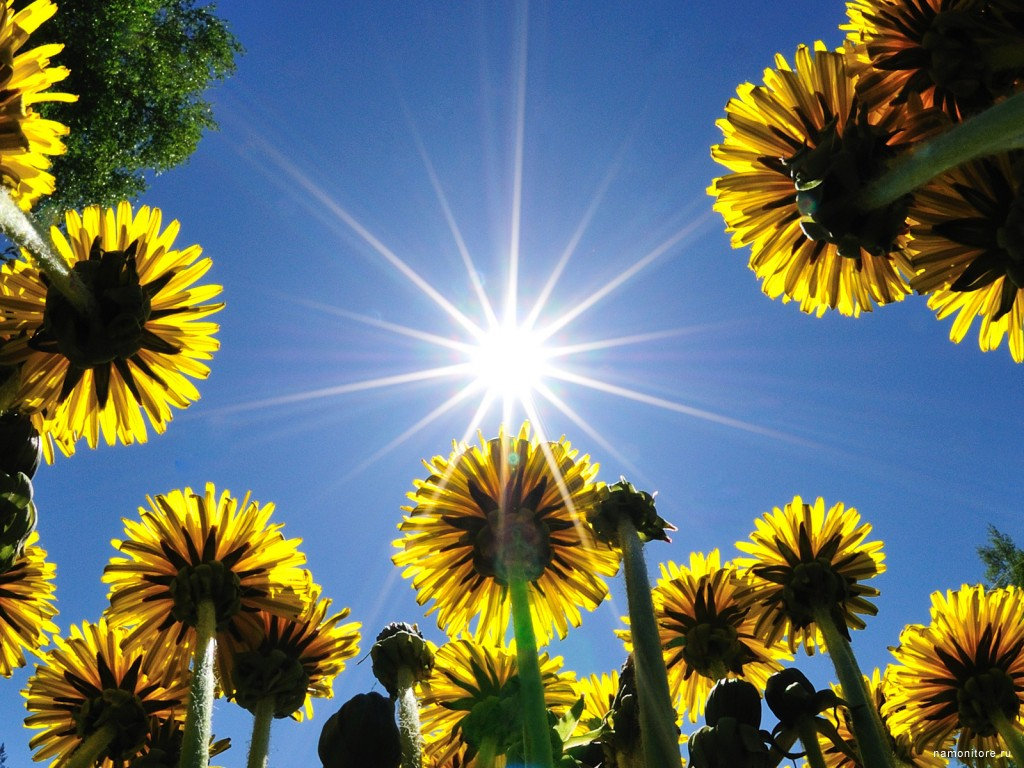 Одуванчики под солнцем – необычный ракурс