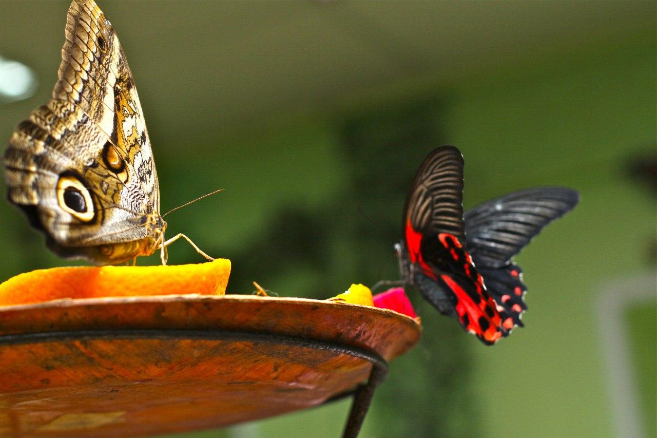 На выставках бабочек «экспонаты» садятся прямо на посетителей