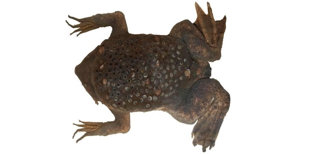Лягушка с отверстиями на спинке для выращивания головастиков