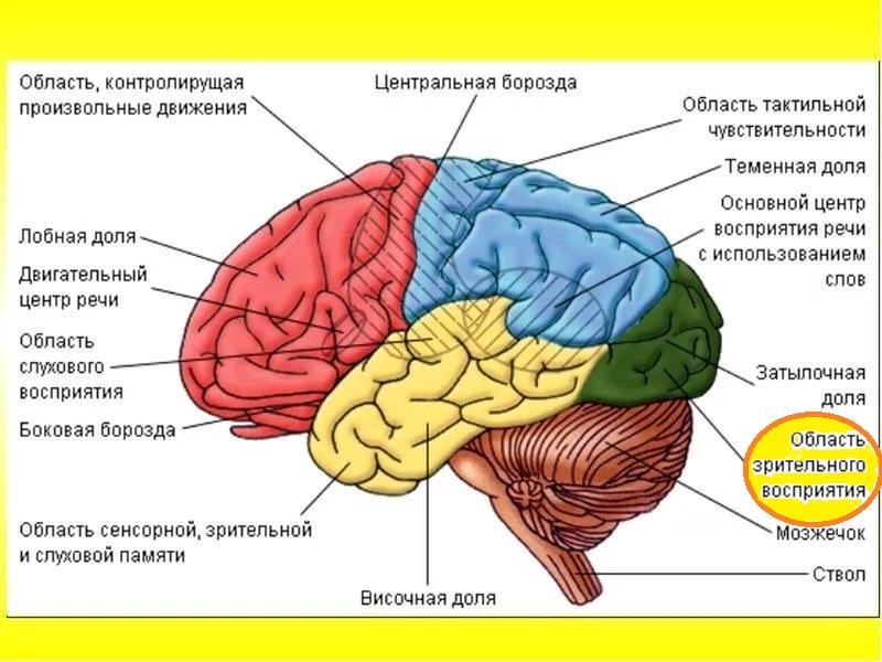 Доля мозга, отвечающая за ЗП